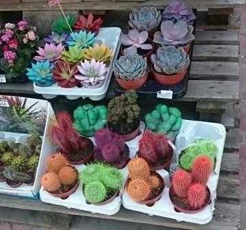 Kaktusi 1