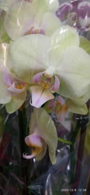 Orhideje 3 - bele