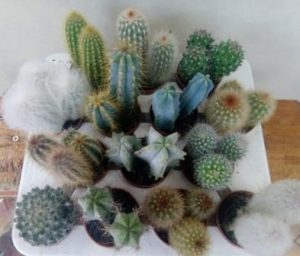 Kaktusi 2