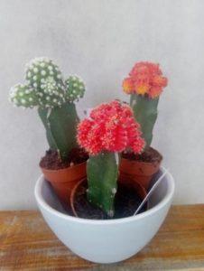 Kaktusi 3-1