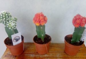 Kaktusi 3