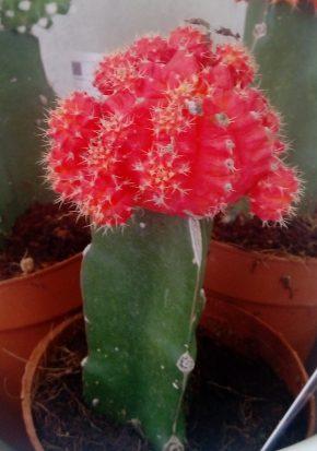 Kaktusi 3-crveni cvet