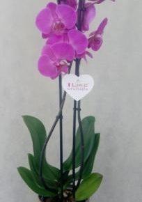 Orhideje 4