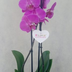 Orhideje 4 - bez ukrasne saksije