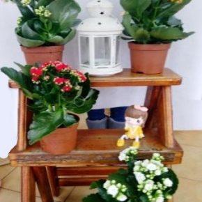 Saksijsko cveće 5 - Kalanhoje
