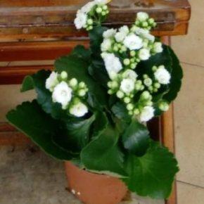 Saksijsko cveće 5 - Kalanhoje bele