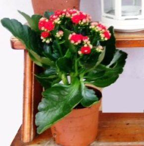 Saksijsko cveće 5 - Kalanhoje crvene