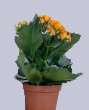 Saksijsko cveće 5 - Kalanhoje žute