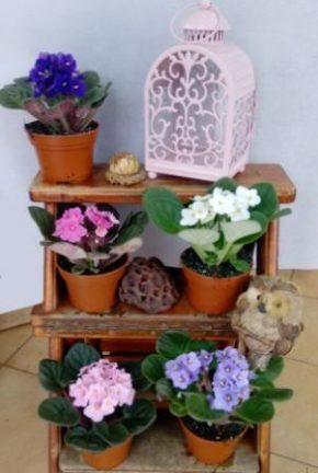 Saksijsko cveće 6 - ljubičice 1