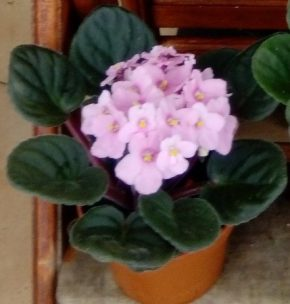 Saksijsko cveće 6 - ljubičice - bebi roze