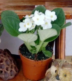 Saksijsko cveće 6 - ljubičice - bele