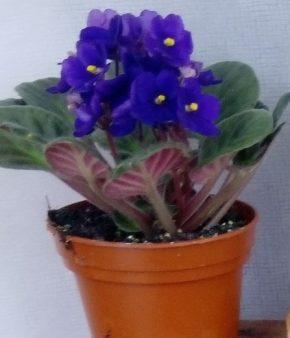 Saksijsko cveće 6 - ljubičice - kraljevsko plava