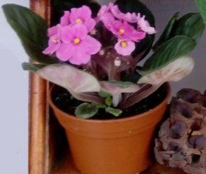 Saksijsko cveće 6 - ljubičice - pink