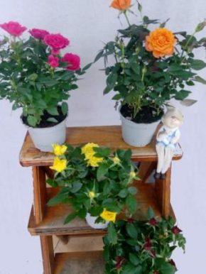 Saksijsko cveće 7- Mini ruže
