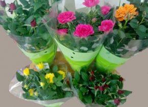 Saksijsko cvece 7 Mini ruze