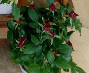 Saksijsko cveće 7 - Mini ruže - crvene