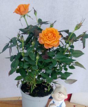 Saksijsko cveće 7 - Mini ruže - kajsija