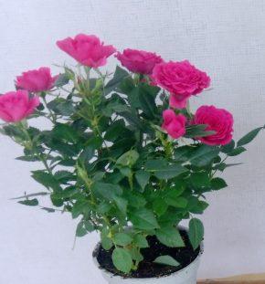 Saksijsko cveće 7 - Mini ruže - pink