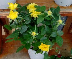 Saksijsko cveće 7 - Mini ruže - žute