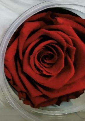 Dehidrirane ruže 2 - crvena